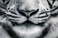 Faszinierender Kunstdruck FIXION 80x80cm Wandbild aus Glas Tiger