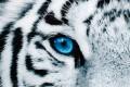 Faszinierender Kunstdruck FIXION 50x140cm Wandbild aus Glas Tiger